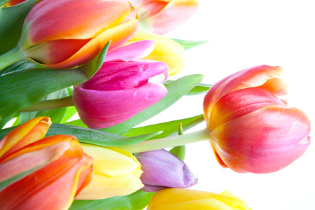 tulips over white Stock Photo