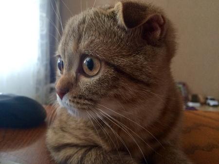 eye: Scottish fold kitten look to the window Stock Photo