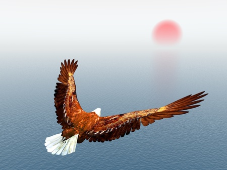 aigle: Aigle de mer