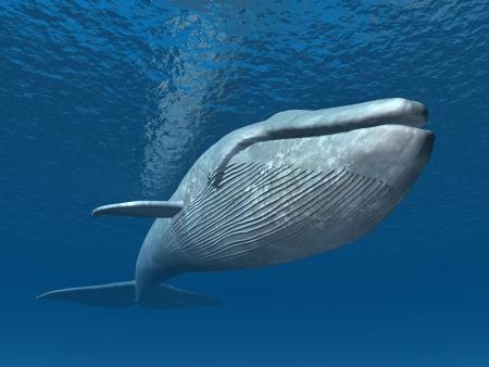 シロナガスクジラ 写真素材
