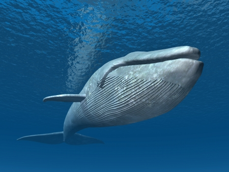 underwater diving: Blue Whale