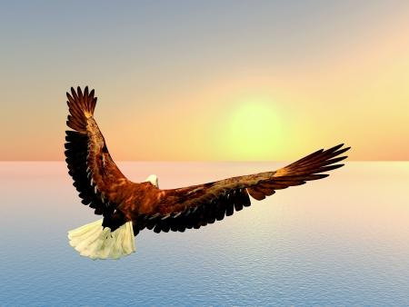 white tailed eagle: Sea Eagle at Sunset Stock Photo