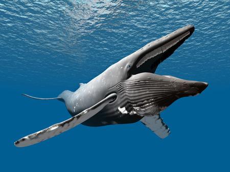 blue whale: Humpback Whale