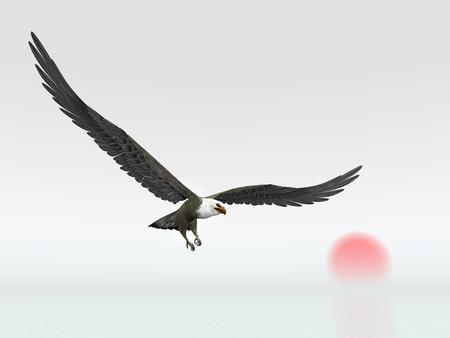 white tailed eagle: Sea Eagle
