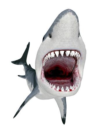 great white shark: Great White Shark isolated on white background