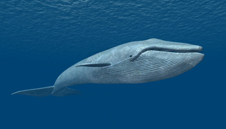 Blue Whale Stock Photo - 35098309