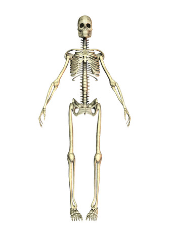 Human skeleton Stock Photo