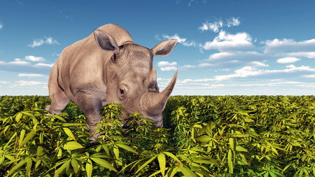 endangered species: Rhinoceros in the wild
