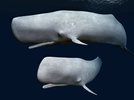 sperm whale: Two Sperm Whales