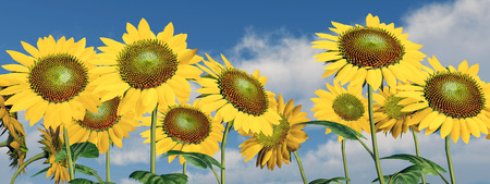 habitats: Sunflowers