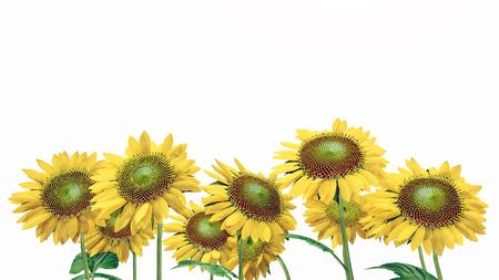 untouched: Sunflowers isolated on white background Stock Photo