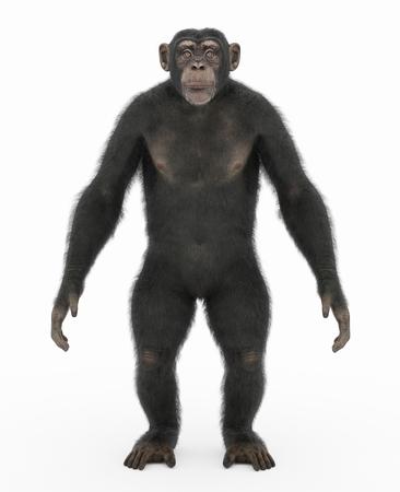 Chimpanzee standing upright Reklamní fotografie