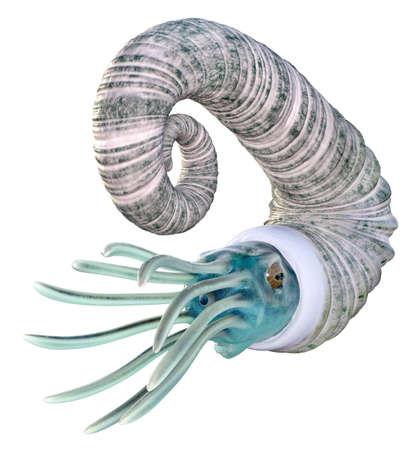 Oso Ammonoids Audouliceras isolated on white background