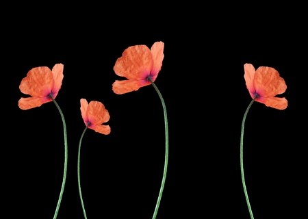 four red corn poppy over black background Stock Photo - 9751398