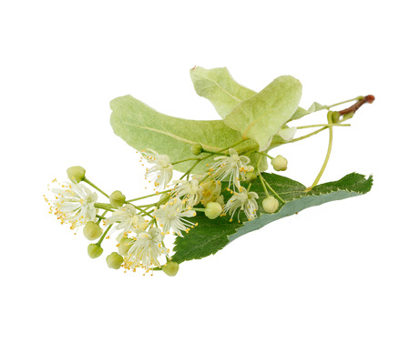 linden flowers: Linden flowers isolated on white background Stock Photo