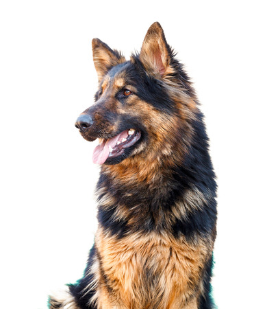 long: Head of long haired german shepherd dog looking happy Stock Photo