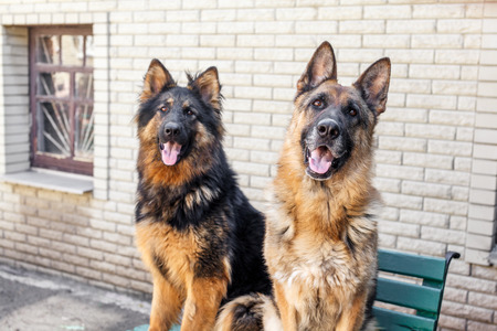 haired: Head of long haired german shepherd dog Stock Photo