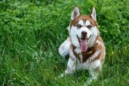 blue eye husky: Siberian Brown Husky with blue eye lying on the green lawn