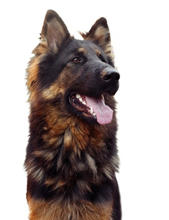 dais: Long haired german shepherd dog sitting on a dais. Isolated over white