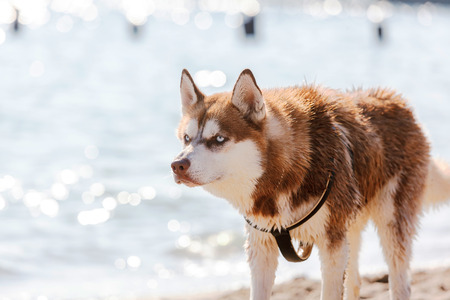 blue eye husky: Head of Siberian Red Husky with blue eye Stock Photo