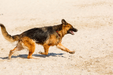 frightened dog: long haired german shepherd dog running on the beach