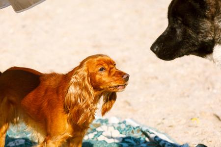 perro asustado: cocker spaniel y Akita mojados que juegan en la playa