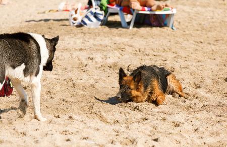 perro asustado: pelo largo perro pastor alemán que se ejecuta en la playa Foto de archivo