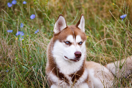 blue eye husky: Siberian Brown Husky with blue eye at the green grass Stock Photo