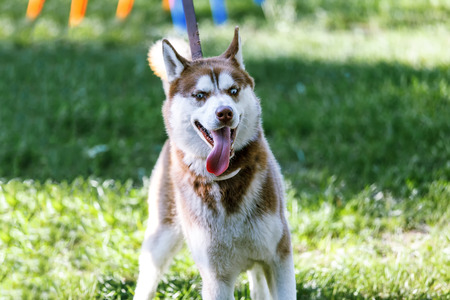 panting: Panting Siberian Husky with blue eye pulling on a leash at the green grass