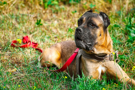 cane collars: Brown Cane corso italiano lying on the green grass Stock Photo