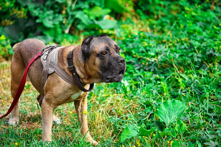 Brown Cane corso italiano lying on the green grass Stock Photo