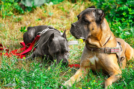 cane collar: Brown and gray cane corso italiano lying on the green grass