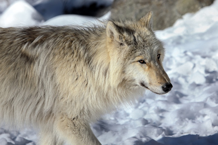 canis lupus: Canis lupus occidentalis  - CanadianRocky Mountain gray wolf Stock Photo