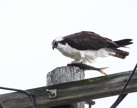 Osprey sitting with fish  on electrical pool Imagens
