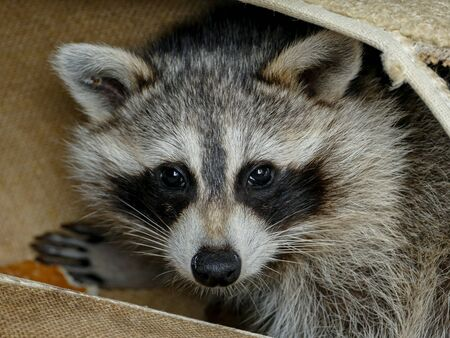 Baby raccon is looking out from garbage 写真素材