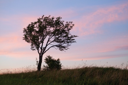 lone leaning tree on pink and blue background photo