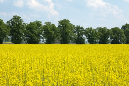 oilseed rape: blooming oilseed rape at field with trees  Stock Photo