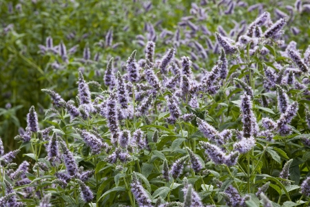 field mint: field of blossom mint with green leaves and violet flowers