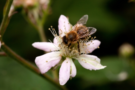 honey bee collets flower nectar, closeup of blackberry flower photo