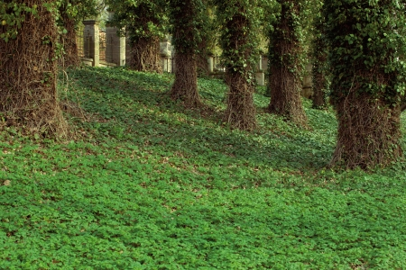 big trees in park covered in ivy or green natural background photo