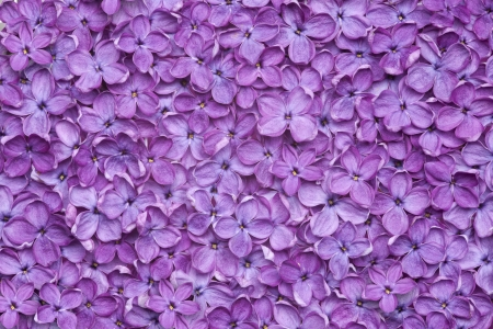 lilac: violet lilac flower background or organic natural texture