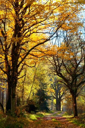road autumnal: autumnal landscape with big tree or road in forest
