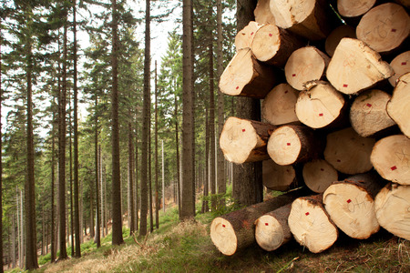 felling: tree felling in big forest, trunks Stock Photo