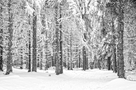 the trees covered with snow: winter forest with trees covered snow