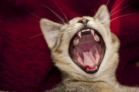 jaws: open big mouth of little cat, jaws