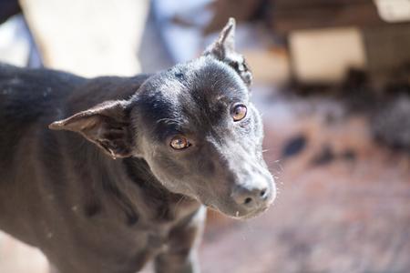 Kind gullible dog staring into the camera with enamored gullible eyes Stock Photo