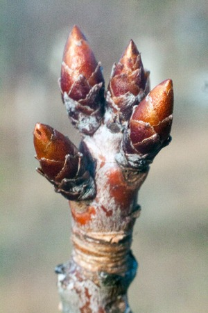tree buds come alive and swollen in the early spring before flowering