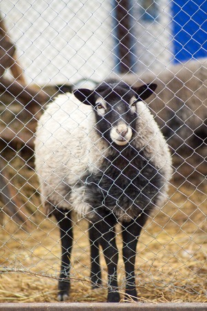 Romanov sheep breed in a pen at the home farm in Australia Stock Photo