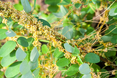 Dodder (Genus Cuscuta) is parasitic and totally dependent on other host plants for survival Stock Photo