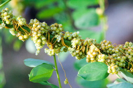 Dodder Genus Cuscuta is parasitic and totally dependent on other host plants for survival Stock Photo